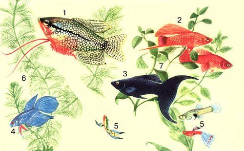 Акваріумні рослини 6 міріофіллюм 7