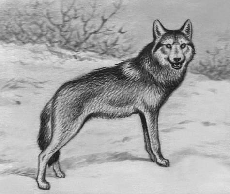 Вовк хижий ссавець