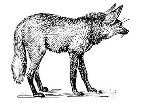 Гривистий вовк. мал. (зображення)