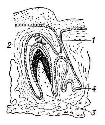 Схема развития зуба у