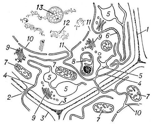 Схема будови клітини освітньої