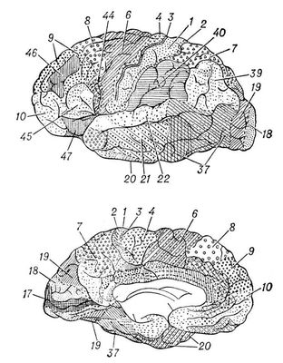 полий кору головного мозку