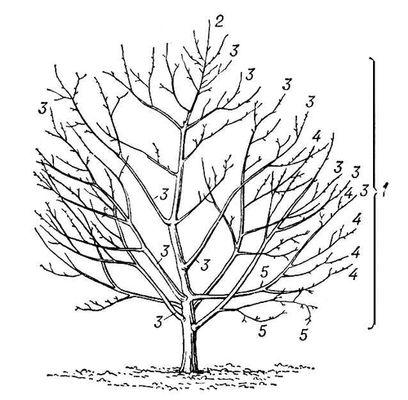 Схема строения (изображение)