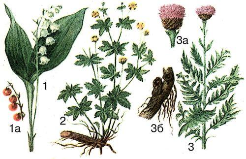 Лікарські рослини 1 конвалія