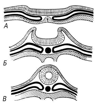 Схема эмбрионального развития
