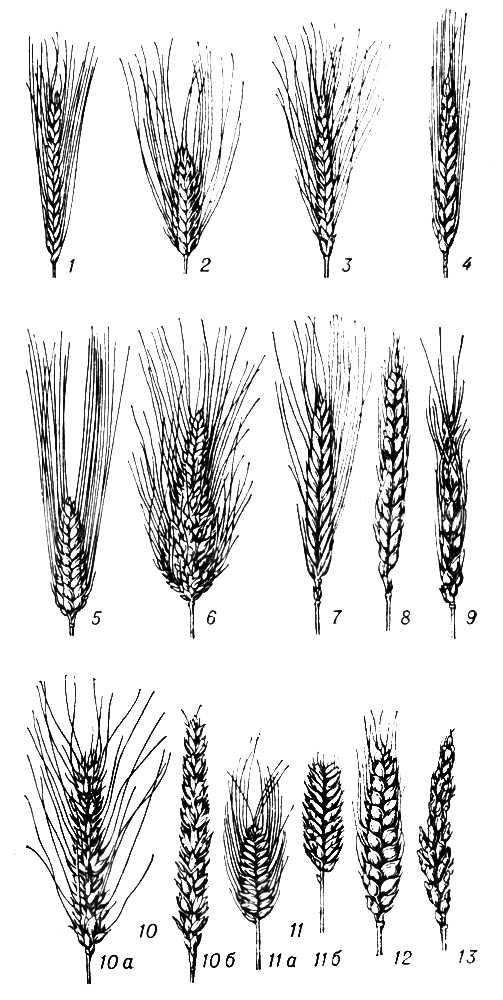 Види та господарське значення зернових культур в Балашове,Зимовниках
