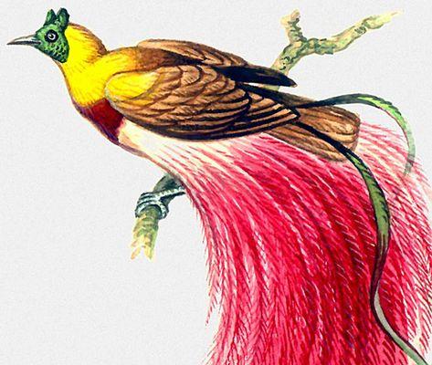 Райские птицы красная райская птица