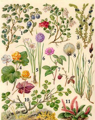 Рослини тундри зображення