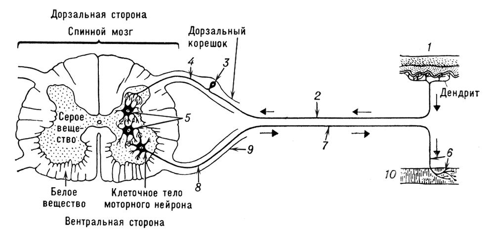 Рефлекторная дуга схемы