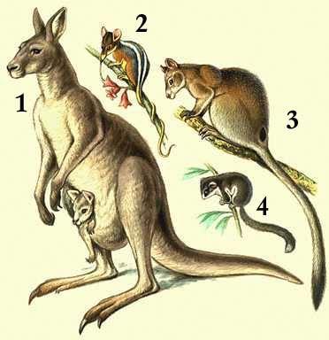 Где находится влагалище у кенгуру фото фото 600-247
