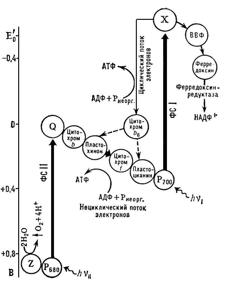 Упрощённая схема цикла Калвина