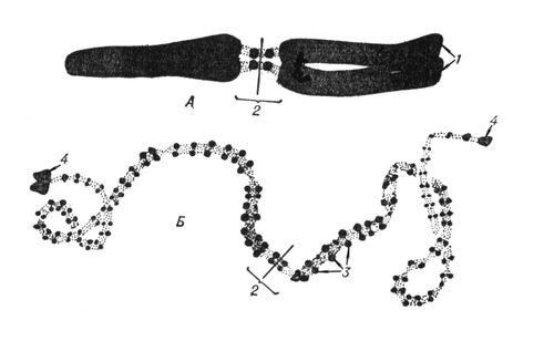 Схема мейоза.